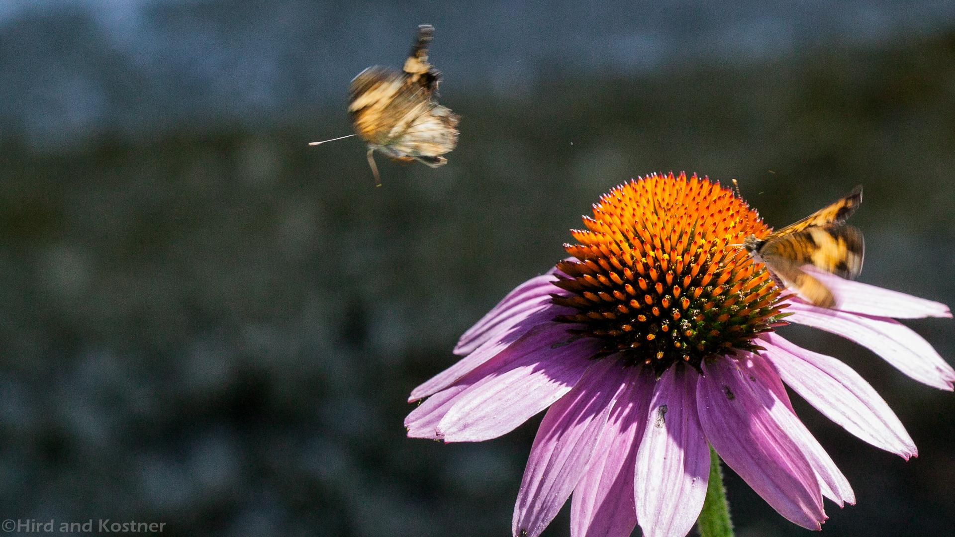 Crescentspot Butterflies 8