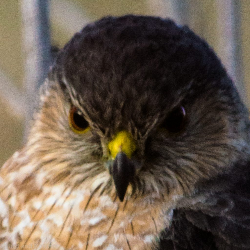 Accipiter cooperii Coopers Hawk