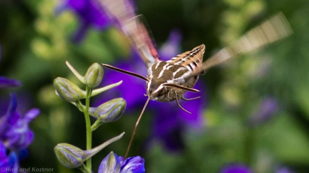Hyles lineata Sphinx moth uses a proboscis to drink nectar