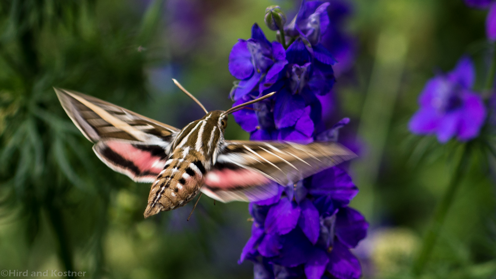 White-lined Sphinx Moth 3