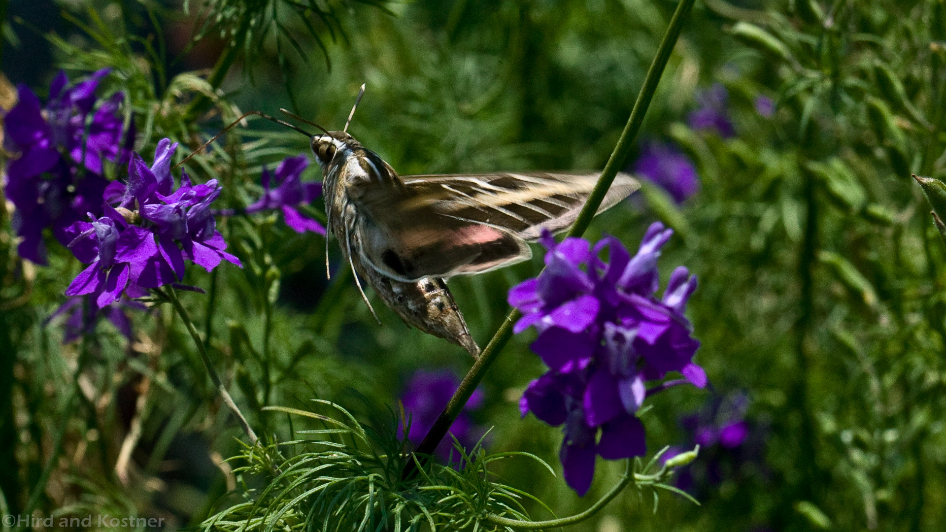 Hyles lineata Hummingbird moth
