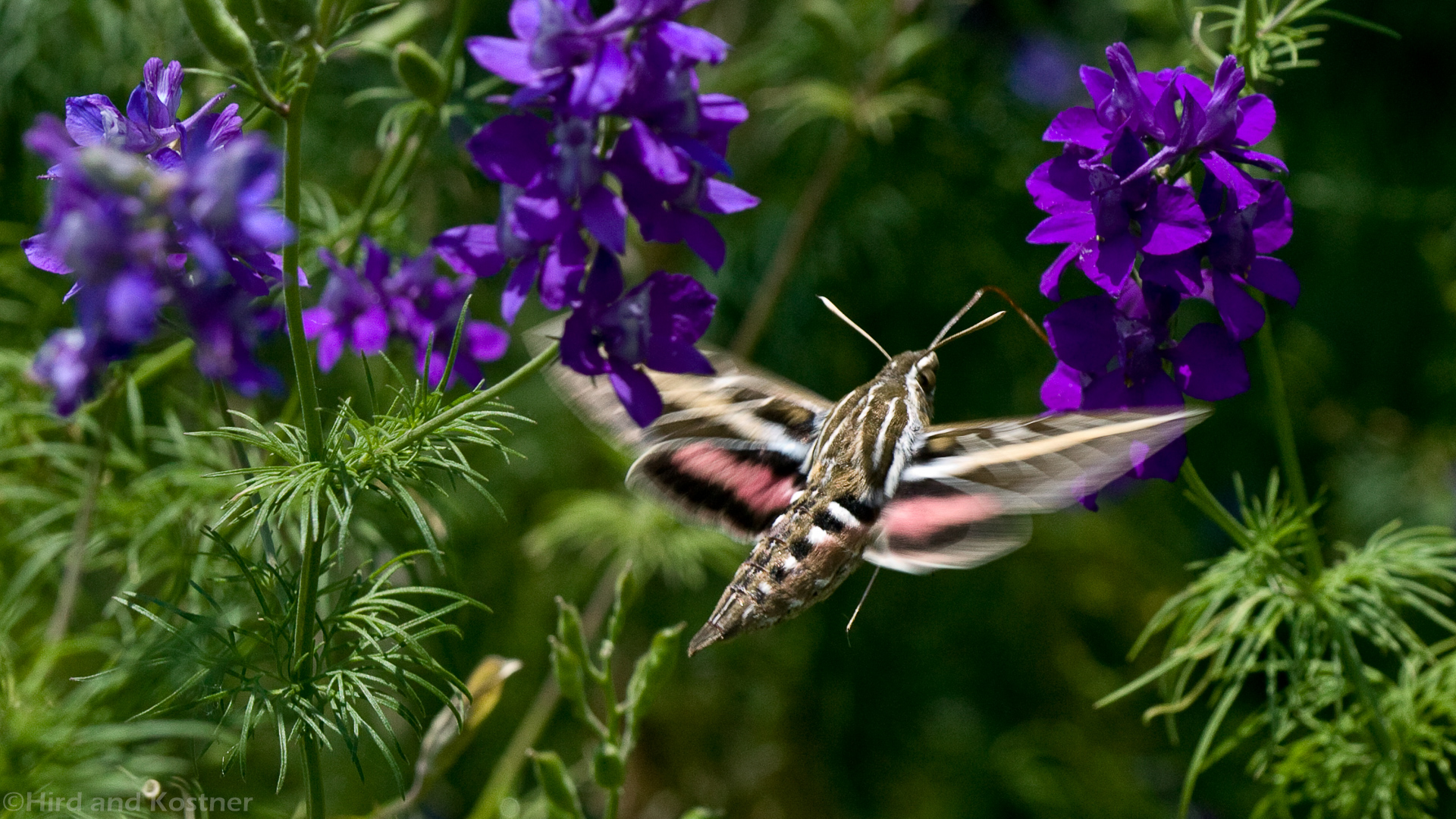 White-lined Sphinx Hummingbird Moth 1