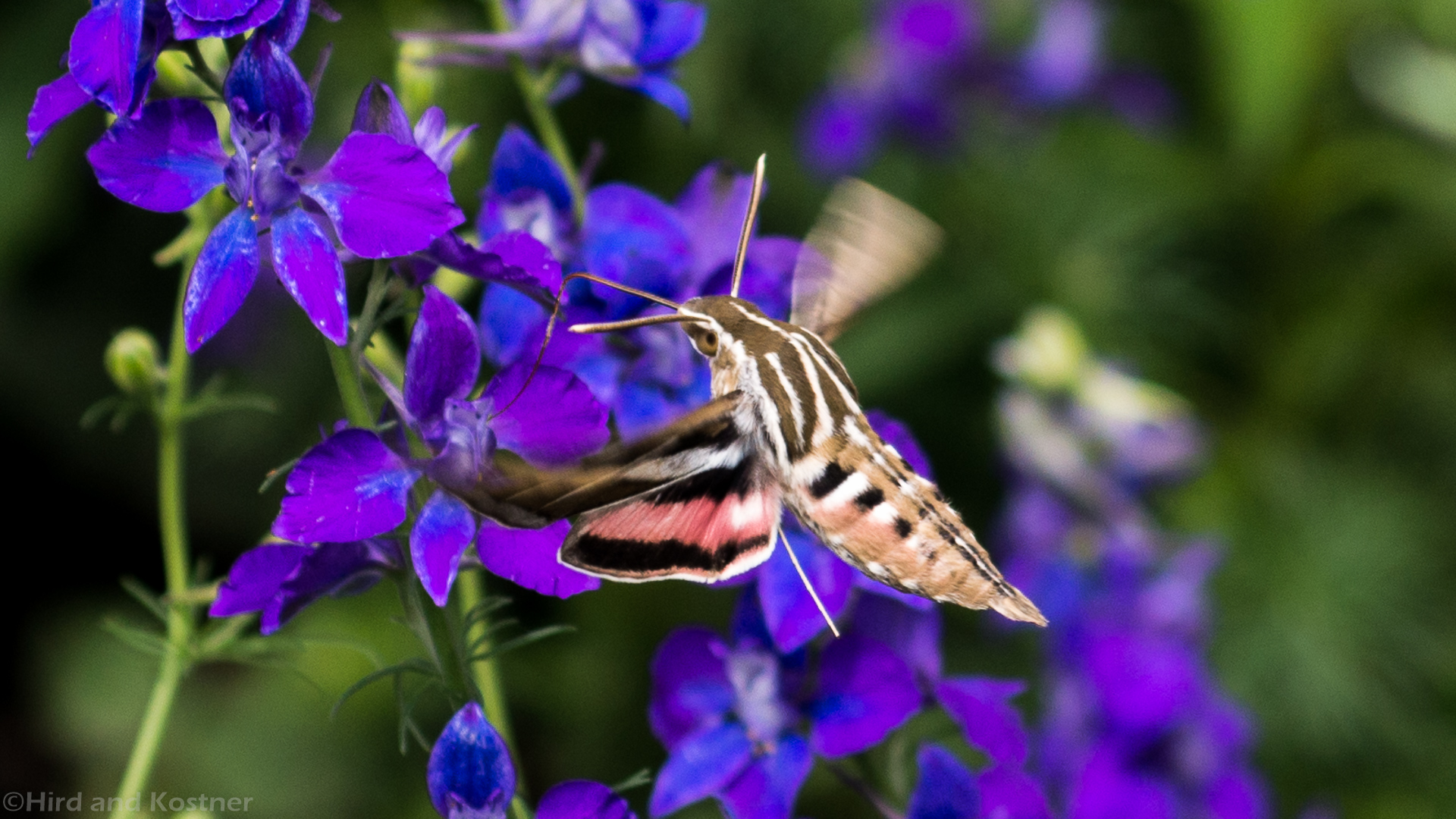 White-lined Sphinx Moth 1