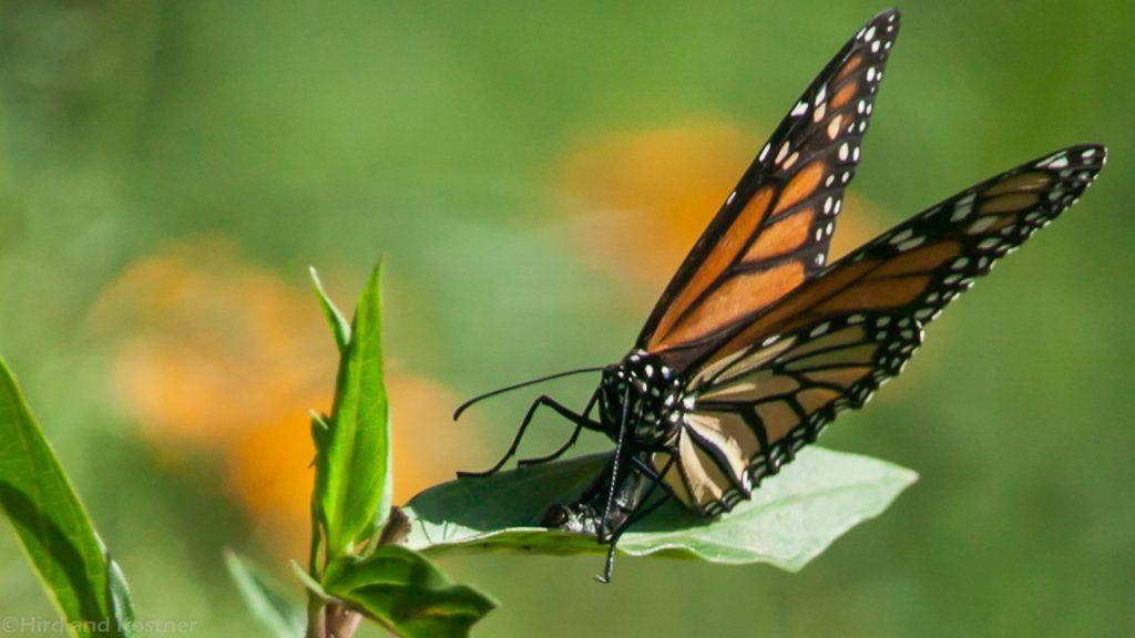 Monarch Deposits Eggs on Swamp Milkweed