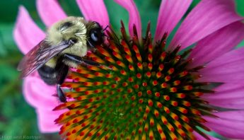 Common Eastern Bumblebees 5