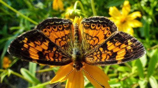 Crescentspot Butterflies 6