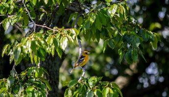 Female Oriole in Hackberry Tree