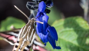 White-lined Sphinx Moth 4