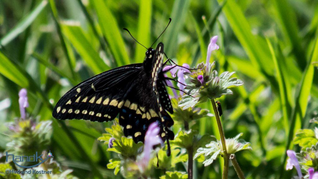 Early pollinator food source